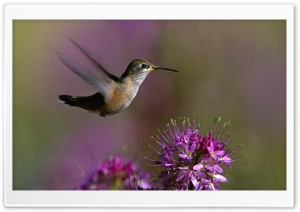 Hummingbird HD Wide Wallpaper for Widescreen