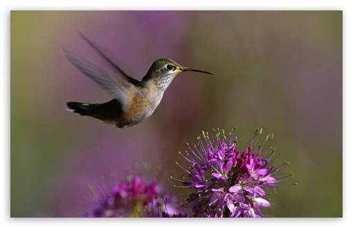 Hummingbird HD wallpaper for Wide 16:10 5:3 Widescreen WHXGA WQXGA WUXGA WXGA WGA ; HD 16:9 High Definition WQHD QWXGA 1080p 900p 720p QHD nHD ; Standard 4:3 5:4 3:2 Fullscreen UXGA XGA SVGA QSXGA SXGA DVGA HVGA HQVGA devices ( Apple PowerBook G4 iPhone 4 3G 3GS iPod Touch ) ; Tablet 1:1 ; iPad 1/2/Mini ; Mobile 4:3 5:3 3:2 16:9 5:4 - UXGA XGA SVGA WGA DVGA HVGA HQVGA devices ( Apple PowerBook G4 iPhone 4 3G 3GS iPod Touch ) WQHD QWXGA 1080p 900p 720p QHD nHD QSXGA SXGA ;