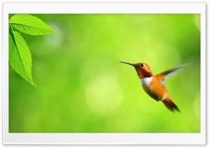 Hummingbird HD Wide Wallpaper for 4K UHD Widescreen desktop & smartphone