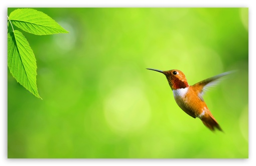 Hummingbird HD wallpaper for Standard 4:3 5:4 Fullscreen UXGA XGA SVGA QSXGA SXGA ; Wide 16:10 5:3 Widescreen WHXGA WQXGA WUXGA WXGA WGA ; HD 16:9 High Definition WQHD QWXGA 1080p 900p 720p QHD nHD ; Other 3:2 DVGA HVGA HQVGA devices ( Apple PowerBook G4 iPhone 4 3G 3GS iPod Touch ) ; Mobile VGA WVGA iPhone iPad PSP Phone - VGA QVGA Smartphone ( PocketPC GPS iPod Zune BlackBerry HTC Samsung LG Nokia Eten Asus ) WVGA WQVGA Smartphone ( HTC Samsung Sony Ericsson LG Vertu MIO ) HVGA Smartphone ( Apple iPhone iPod BlackBerry HTC Samsung Nokia ) Sony PSP Zune HD Zen ; Tablet 2 Android ; Dual 4:3 5:4 UXGA XGA SVGA QSXGA SXGA ;