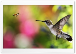 HUMMINGBIRD AND BEE - CHILE HD Wide Wallpaper for Widescreen