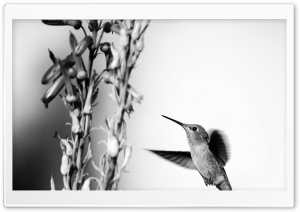 Hummingbird Black and White Photography HD Wide Wallpaper for Widescreen