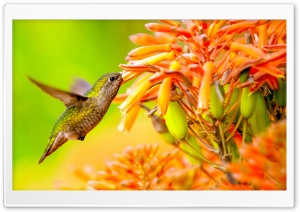 Hummingbird Feeding On Flower HD Wide Wallpaper for 4K UHD Widescreen desktop & smartphone