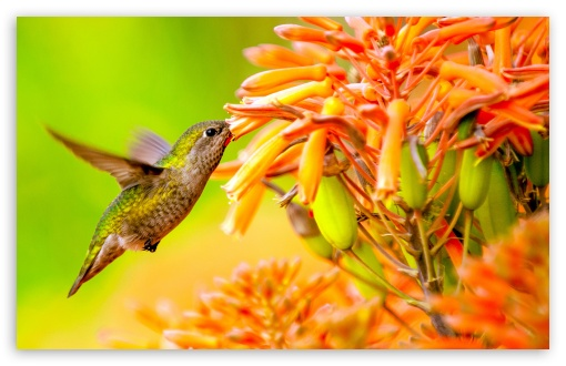 Hummingbird Feeding On Flower ❤ 4K UHD Wallpaper for Wide 16:10 5:3 Widescreen WHXGA WQXGA WUXGA WXGA WGA ; UltraWide 21:9 ; 4K UHD 16:9 Ultra High Definition 2160p 1440p 1080p 900p 720p ; Standard 4:3 5:4 3:2 Fullscreen UXGA XGA SVGA QSXGA SXGA DVGA HVGA HQVGA ( Apple PowerBook G4 iPhone 4 3G 3GS iPod Touch ) ; Smartphone 16:9 3:2 5:3 2160p 1440p 1080p 900p 720p DVGA HVGA HQVGA ( Apple PowerBook G4 iPhone 4 3G 3GS iPod Touch ) WGA ; Tablet 1:1 ; iPad 1/2/Mini ; Mobile 4:3 5:3 3:2 16:9 5:4 - UXGA XGA SVGA WGA DVGA HVGA HQVGA ( Apple PowerBook G4 iPhone 4 3G 3GS iPod Touch ) 2160p 1440p 1080p 900p 720p QSXGA SXGA ;