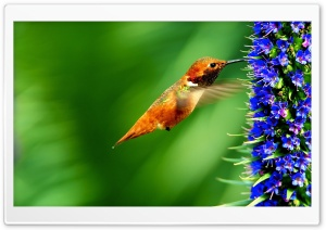 Hummingbird Flowers Ultra HD Wallpaper for 4K UHD Widescreen desktop, tablet & smartphone