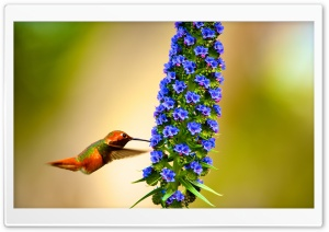 Hummingbird Flying Slow Motion HD Wide Wallpaper for Widescreen