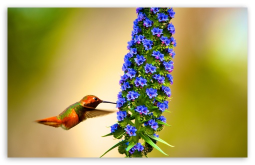 Hummingbird Flying Slow Motion ❤ 4K UHD Wallpaper for Wide 16:10 5:3 Widescreen WHXGA WQXGA WUXGA WXGA WGA ; UltraWide 21:9 ; 4K UHD 16:9 Ultra High Definition 2160p 1440p 1080p 900p 720p ; Standard 4:3 5:4 3:2 Fullscreen UXGA XGA SVGA QSXGA SXGA DVGA HVGA HQVGA ( Apple PowerBook G4 iPhone 4 3G 3GS iPod Touch ) ; Tablet 1:1 ; iPad 1/2/Mini ; Mobile 4:3 5:3 3:2 16:9 5:4 - UXGA XGA SVGA WGA DVGA HVGA HQVGA ( Apple PowerBook G4 iPhone 4 3G 3GS iPod Touch ) 2160p 1440p 1080p 900p 720p QSXGA SXGA ; Dual 16:10 5:3 16:9 4:3 5:4 3:2 WHXGA WQXGA WUXGA WXGA WGA 2160p 1440p 1080p 900p 720p UXGA XGA SVGA QSXGA SXGA DVGA HVGA HQVGA ( Apple PowerBook G4 iPhone 4 3G 3GS iPod Touch ) ;