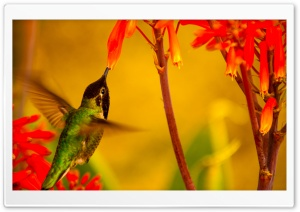 Hummingbird Green Back HD Wide Wallpaper for Widescreen