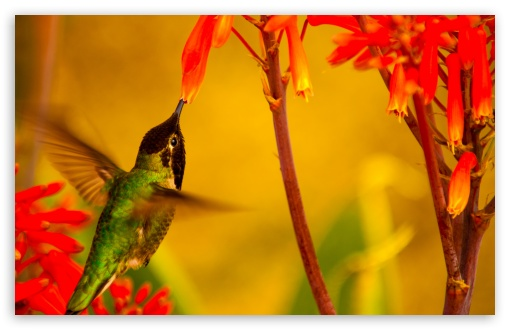 Hummingbird Green Back ❤ 4K UHD Wallpaper for Wide 16:10 5:3 Widescreen WHXGA WQXGA WUXGA WXGA WGA ; 4K UHD 16:9 Ultra High Definition 2160p 1440p 1080p 900p 720p ; Standard 4:3 5:4 3:2 Fullscreen UXGA XGA SVGA QSXGA SXGA DVGA HVGA HQVGA ( Apple PowerBook G4 iPhone 4 3G 3GS iPod Touch ) ; Smartphone 16:9 3:2 5:3 2160p 1440p 1080p 900p 720p DVGA HVGA HQVGA ( Apple PowerBook G4 iPhone 4 3G 3GS iPod Touch ) WGA ; Tablet 1:1 ; iPad 1/2/Mini ; Mobile 4:3 5:3 3:2 16:9 5:4 - UXGA XGA SVGA WGA DVGA HVGA HQVGA ( Apple PowerBook G4 iPhone 4 3G 3GS iPod Touch ) 2160p 1440p 1080p 900p 720p QSXGA SXGA ;