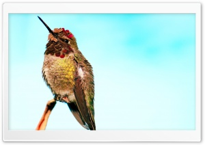 Hummingbird Head Up HD Wide Wallpaper for Widescreen