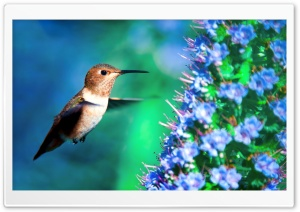 Hummingbird in Flight HD Wide Wallpaper for 4K UHD Widescreen desktop & smartphone