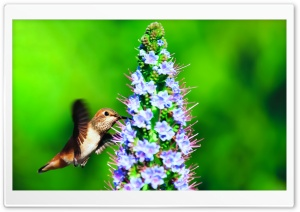 Hummingbird in the Wild HD Wide Wallpaper for Widescreen