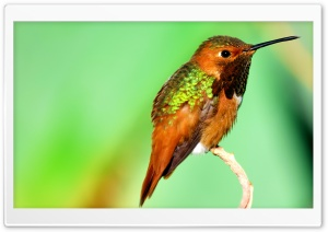 Hummingbird Iridescent Feathers Ultra HD Wallpaper for 4K UHD Widescreen desktop, tablet & smartphone