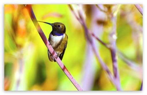 Hummingbird Photography ❤ 4K UHD Wallpaper for Wide 16:10 5:3 Widescreen WHXGA WQXGA WUXGA WXGA WGA ; 4K UHD 16:9 Ultra High Definition 2160p 1440p 1080p 900p 720p ; Standard 4:3 5:4 3:2 Fullscreen UXGA XGA SVGA QSXGA SXGA DVGA HVGA HQVGA ( Apple PowerBook G4 iPhone 4 3G 3GS iPod Touch ) ; Smartphone 16:9 3:2 5:3 2160p 1440p 1080p 900p 720p DVGA HVGA HQVGA ( Apple PowerBook G4 iPhone 4 3G 3GS iPod Touch ) WGA ; Tablet 1:1 ; iPad 1/2/Mini ; Mobile 4:3 5:3 3:2 16:9 5:4 - UXGA XGA SVGA WGA DVGA HVGA HQVGA ( Apple PowerBook G4 iPhone 4 3G 3GS iPod Touch ) 2160p 1440p 1080p 900p 720p QSXGA SXGA ;