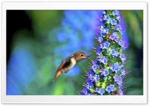 Hummingbird, Pride of Madeira Flower HD Wide Wallpaper for Widescreen