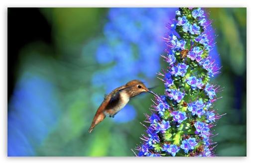 Hummingbird, Pride of Madeira Flower ❤ 4K UHD Wallpaper for Wide 16:10 5:3 Widescreen WHXGA WQXGA WUXGA WXGA WGA ; UltraWide 21:9 24:10 ; 4K UHD 16:9 Ultra High Definition 2160p 1440p 1080p 900p 720p ; UHD 16:9 2160p 1440p 1080p 900p 720p ; Standard 4:3 5:4 3:2 Fullscreen UXGA XGA SVGA QSXGA SXGA DVGA HVGA HQVGA ( Apple PowerBook G4 iPhone 4 3G 3GS iPod Touch ) ; Smartphone 16:9 3:2 5:3 2160p 1440p 1080p 900p 720p DVGA HVGA HQVGA ( Apple PowerBook G4 iPhone 4 3G 3GS iPod Touch ) WGA ; Tablet 1:1 ; iPad 1/2/Mini ; Mobile 4:3 5:3 3:2 16:9 5:4 - UXGA XGA SVGA WGA DVGA HVGA HQVGA ( Apple PowerBook G4 iPhone 4 3G 3GS iPod Touch ) 2160p 1440p 1080p 900p 720p QSXGA SXGA ; Dual 16:10 5:3 16:9 4:3 5:4 3:2 WHXGA WQXGA WUXGA WXGA WGA 2160p 1440p 1080p 900p 720p UXGA XGA SVGA QSXGA SXGA DVGA HVGA HQVGA ( Apple PowerBook G4 iPhone 4 3G 3GS iPod Touch ) ;