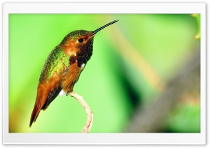 Hummingbird Resting HD Wide Wallpaper for Widescreen