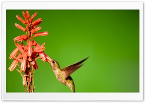 Hummingbird Slow Motion HD Wide Wallpaper for Widescreen