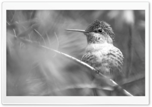 Hummingbird, Tree Branches, Black and White HD Wide Wallpaper for Widescreen