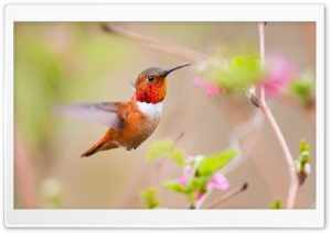 Hummingbirds HD Wide Wallpaper for Widescreen