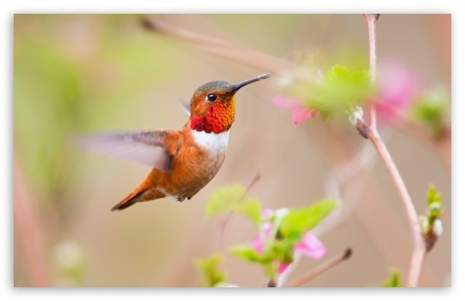 Hummingbirds ❤ 4K UHD Wallpaper for Wide 16:10 5:3 Widescreen WHXGA WQXGA WUXGA WXGA WGA ; 4K UHD 16:9 Ultra High Definition 2160p 1440p 1080p 900p 720p ; Standard 4:3 5:4 3:2 Fullscreen UXGA XGA SVGA QSXGA SXGA DVGA HVGA HQVGA ( Apple PowerBook G4 iPhone 4 3G 3GS iPod Touch ) ; Tablet 1:1 ; iPad 1/2/Mini ; Mobile 4:3 5:3 3:2 16:9 5:4 - UXGA XGA SVGA WGA DVGA HVGA HQVGA ( Apple PowerBook G4 iPhone 4 3G 3GS iPod Touch ) 2160p 1440p 1080p 900p 720p QSXGA SXGA ; Dual 4:3 5:4 UXGA XGA SVGA QSXGA SXGA ;