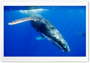 Humpback Whale HD Wide Wallpaper for 4K UHD Widescreen desktop & smartphone