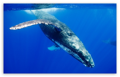 Humpback Whale HD wallpaper for Wide 16:10 5:3 Widescreen WHXGA WQXGA WUXGA WXGA WGA ; HD 16:9 High Definition WQHD QWXGA 1080p 900p 720p QHD nHD ; Standard 4:3 5:4 3:2 Fullscreen UXGA XGA SVGA QSXGA SXGA DVGA HVGA HQVGA devices ( Apple PowerBook G4 iPhone 4 3G 3GS iPod Touch ) ; iPad 1/2/Mini ; Mobile 4:3 5:3 3:2 16:9 5:4 - UXGA XGA SVGA WGA DVGA HVGA HQVGA devices ( Apple PowerBook G4 iPhone 4 3G 3GS iPod Touch ) WQHD QWXGA 1080p 900p 720p QHD nHD QSXGA SXGA ;