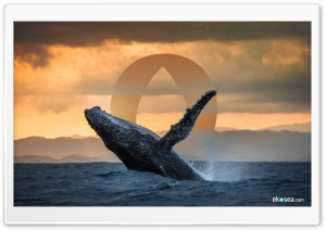 Humpback Whale - ekosea HD Wide Wallpaper for 4K UHD Widescreen desktop & smartphone