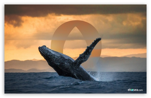 Humpback Whale - ekosea ❤ 4K UHD Wallpaper for Wide 16:10 5:3 Widescreen WHXGA WQXGA WUXGA WXGA WGA ; 4K UHD 16:9 Ultra High Definition 2160p 1440p 1080p 900p 720p ; Tablet 1:1 ; Mobile 5:3 16:9 - WGA 2160p 1440p 1080p 900p 720p ;