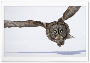 Hunting Great Gray Owl HD Wide Wallpaper for Widescreen