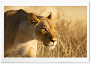 Hunting Lioness HD Wide Wallpaper for Widescreen