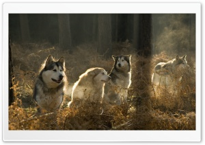 Huskies Group In The Forest HD Wide Wallpaper for 4K UHD Widescreen desktop & smartphone
