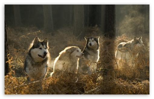 Huskies Group In The Forest HD wallpaper for Standard 4:3 5:4 Fullscreen UXGA XGA SVGA QSXGA SXGA ; Wide 16:10 5:3 Widescreen WHXGA WQXGA WUXGA WXGA WGA ; HD 16:9 High Definition WQHD QWXGA 1080p 900p 720p QHD nHD ; Other 3:2 DVGA HVGA HQVGA devices ( Apple PowerBook G4 iPhone 4 3G 3GS iPod Touch ) ; Mobile VGA WVGA iPhone iPad PSP Phone - VGA QVGA Smartphone ( PocketPC GPS iPod Zune BlackBerry HTC Samsung LG Nokia Eten Asus ) WVGA WQVGA Smartphone ( HTC Samsung Sony Ericsson LG Vertu MIO ) HVGA Smartphone ( Apple iPhone iPod BlackBerry HTC Samsung Nokia ) Sony PSP Zune HD Zen ; Tablet 2 Android 3 DVGA HVGA HQVGA devices ( Apple PowerBook G4 iPhone 4 3G 3GS iPod Touch ) ; Dual 4:3 5:4 16:10 UXGA XGA SVGA QSXGA SXGA WHXGA WQXGA WUXGA WXGA ;