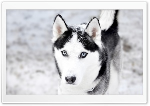 Husky HD Wide Wallpaper for Widescreen