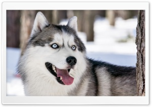 Husky Dog Winter HD Wide Wallpaper for 4K UHD Widescreen desktop & smartphone