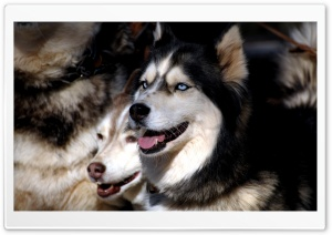 Husky Dogs HD Wide Wallpaper for Widescreen