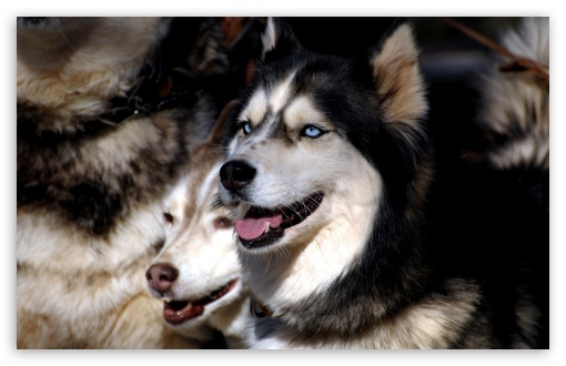 Husky Dogs HD wallpaper for Wide 16:10 5:3 Widescreen WHXGA WQXGA WUXGA WXGA WGA ; HD 16:9 High Definition WQHD QWXGA 1080p 900p 720p QHD nHD ; Standard 4:3 5:4 3:2 Fullscreen UXGA XGA SVGA QSXGA SXGA DVGA HVGA HQVGA devices ( Apple PowerBook G4 iPhone 4 3G 3GS iPod Touch ) ; Tablet 1:1 ; iPad 1/2/Mini ; Mobile 4:3 5:3 3:2 16:9 5:4 - UXGA XGA SVGA WGA DVGA HVGA HQVGA devices ( Apple PowerBook G4 iPhone 4 3G 3GS iPod Touch ) WQHD QWXGA 1080p 900p 720p QHD nHD QSXGA SXGA ;