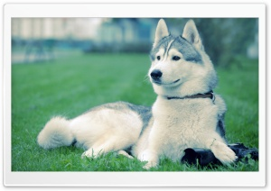 Husky On The Grass HD Wide Wallpaper for Widescreen