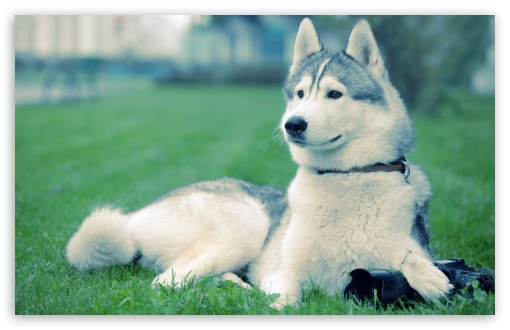 Husky On The Grass HD wallpaper for Wide 16:10 5:3 Widescreen WHXGA WQXGA WUXGA WXGA WGA ; HD 16:9 High Definition WQHD QWXGA 1080p 900p 720p QHD nHD ; Standard 4:3 5:4 3:2 Fullscreen UXGA XGA SVGA QSXGA SXGA DVGA HVGA HQVGA devices ( Apple PowerBook G4 iPhone 4 3G 3GS iPod Touch ) ; Tablet 1:1 ; iPad 1/2/Mini ; Mobile 4:3 5:3 3:2 16:9 5:4 - UXGA XGA SVGA WGA DVGA HVGA HQVGA devices ( Apple PowerBook G4 iPhone 4 3G 3GS iPod Touch ) WQHD QWXGA 1080p 900p 720p QHD nHD QSXGA SXGA ;