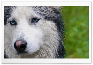 Husky Portrait HD Wide Wallpaper for Widescreen