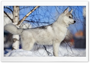 Husky Puppy Winter HD Wide Wallpaper for 4K UHD Widescreen desktop & smartphone