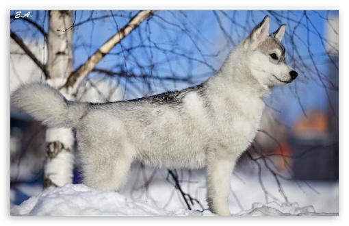 Husky Puppy Winter HD wallpaper for Wide 16:10 5:3 Widescreen WHXGA WQXGA WUXGA WXGA WGA ; HD 16:9 High Definition WQHD QWXGA 1080p 900p 720p QHD nHD ; Standard 4:3 3:2 Fullscreen UXGA XGA SVGA DVGA HVGA HQVGA devices ( Apple PowerBook G4 iPhone 4 3G 3GS iPod Touch ) ; iPad 1/2/Mini ; Mobile 4:3 5:3 3:2 16:9 - UXGA XGA SVGA WGA DVGA HVGA HQVGA devices ( Apple PowerBook G4 iPhone 4 3G 3GS iPod Touch ) WQHD QWXGA 1080p 900p 720p QHD nHD ;