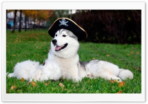 Husky With Pirate Hat HD Wide Wallpaper for 4K UHD Widescreen desktop & smartphone