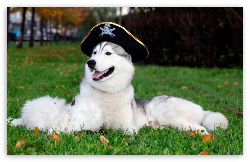 Husky With Pirate Hat HD wallpaper for Wide 16:10 5:3 Widescreen WHXGA WQXGA WUXGA WXGA WGA ; HD 16:9 High Definition WQHD QWXGA 1080p 900p 720p QHD nHD ; Standard 3:2 Fullscreen DVGA HVGA HQVGA devices ( Apple PowerBook G4 iPhone 4 3G 3GS iPod Touch ) ; Mobile 5:3 3:2 16:9 - WGA DVGA HVGA HQVGA devices ( Apple PowerBook G4 iPhone 4 3G 3GS iPod Touch ) WQHD QWXGA 1080p 900p 720p QHD nHD ;