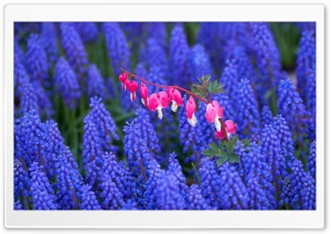Hyacinth And Bleeding Heart Flowers HD Wide Wallpaper for Widescreen