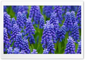 Hyacinth Field HD Wide Wallpaper for Widescreen