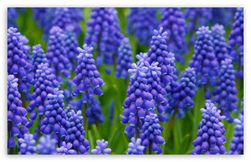 Hyacinth Field ❤ 4K UHD Wallpaper for Wide 16:10 5:3 Widescreen WHXGA WQXGA WUXGA WXGA WGA ; 4K UHD 16:9 Ultra High Definition 2160p 1440p 1080p 900p 720p ; UHD 16:9 2160p 1440p 1080p 900p 720p ; Standard 4:3 5:4 3:2 Fullscreen UXGA XGA SVGA QSXGA SXGA DVGA HVGA HQVGA ( Apple PowerBook G4 iPhone 4 3G 3GS iPod Touch ) ; Smartphone 5:3 WGA ; Tablet 1:1 ; iPad 1/2/Mini ; Mobile 4:3 5:3 3:2 16:9 5:4 - UXGA XGA SVGA WGA DVGA HVGA HQVGA ( Apple PowerBook G4 iPhone 4 3G 3GS iPod Touch ) 2160p 1440p 1080p 900p 720p QSXGA SXGA ;