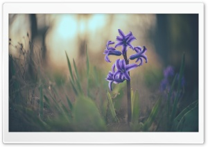 Hyacinth Macro HD Wide Wallpaper for Widescreen