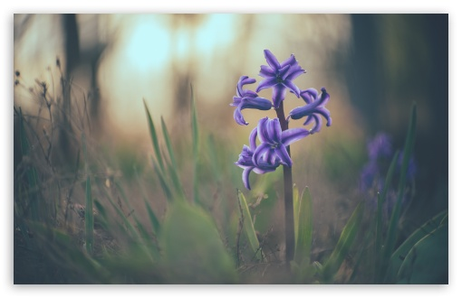 Hyacinth Macro UltraHD Wallpaper for Wide 16:10 5:3 Widescreen WHXGA WQXGA WUXGA WXGA WGA ; 8K UHD TV 16:9 Ultra High Definition 2160p 1440p 1080p 900p 720p ; Standard 4:3 5:4 3:2 Fullscreen UXGA XGA SVGA QSXGA SXGA DVGA HVGA HQVGA ( Apple PowerBook G4 iPhone 4 3G 3GS iPod Touch ) ; Smartphone 16:9 3:2 5:3 2160p 1440p 1080p 900p 720p DVGA HVGA HQVGA ( Apple PowerBook G4 iPhone 4 3G 3GS iPod Touch ) WGA ; Tablet 1:1 ; iPad 1/2/Mini ; Mobile 4:3 5:3 3:2 16:9 5:4 - UXGA XGA SVGA WGA DVGA HVGA HQVGA ( Apple PowerBook G4 iPhone 4 3G 3GS iPod Touch ) 2160p 1440p 1080p 900p 720p QSXGA SXGA ;