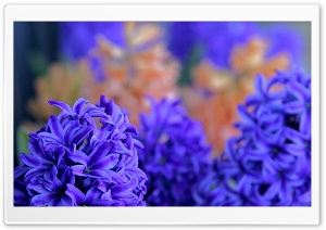 Hyacinths HD Wide Wallpaper for Widescreen